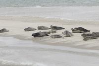 Zeehonden op de Noordergronden